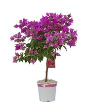 "Picture of Bougainvillea ""Sabina"" Deco"