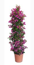 "Picture of Bougainvillea ""Sabina"""