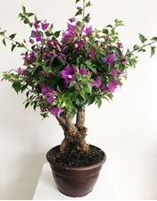 "Picture of Bougainvillea ""Sabina""  Bonsai"