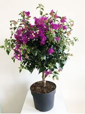 "Picture of Bougainvillea "" Sabina"" stem"