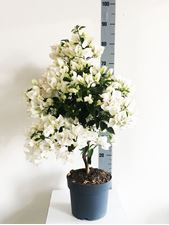 "Picture of Bougainvillea ""White"" Stem"