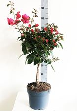 Picture of Bougainvillea Fucsia