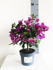 "Picture of Bougainvillea ""Sabina"" ministem"