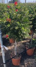 """Picture of Callistemon """" Red Star"""""""