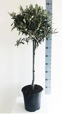 Picture of Olea europea